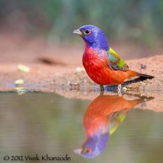Painted Bunting in Texas