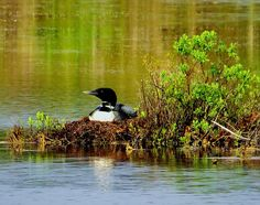 "A loon on her nest, Mount Desert Island.  (Reader photo submitted by ""eswanson."" Larger image: http://www.downeast.com/nesting-loon-3/)"
