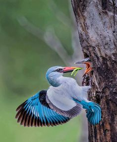 "yourstrulyfranca: "" angel-kiyoss: "" Woodland Kingfisher (Halcyon senegalensis) in South Africa. "" "" Beautiful !!! \O/"