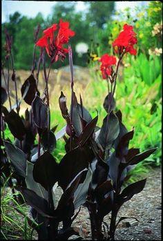 Canna 'Australia' Juniper Level Botanic Gdn, NC 