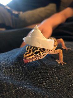 here's a gecko in a hat. Leopard Gecko Cute, Cute Gecko, Cute Reptiles, Reptiles And Amphibians, Funny Animal Jokes, Cute Funny Animals, Cute Lizard, Pet Lizards, Cute Animal Photos