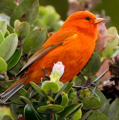 New study may point to rare Hawaiian birds developing immunity to deadly diseases! Akepa photo by Jack Jeffrey