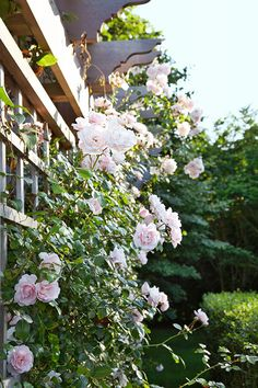 Lovely old-fashioned roses (New Dawn Climbing Rose) adorn a lattice.