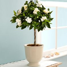 Sweet Fragrance Of Gardenia Flowers In The Bedroom Has Effectiveness Impact In Relaxing The Body And Brain Best Indoor Plants For Bedroom Air Quality And Restful Sleep bedroom houseplants. plants in bedroom ideas. bedroom plants oxygen at night. Patio Plants, Potted Plants, Flowering Plants, Potted Trees, Small Plants, Tropical Flowers, Indoor Flowers, Potted Flowers, Arrangements Ikebana