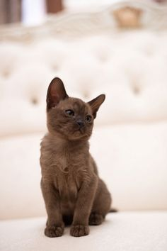 Cute Kittens, Kittens Cutest Baby, Newborn Kittens, Kittens And Puppies, Puppies For Sale, Baby Cats, Short Legged Cats, Munchkin Cat Scottish Fold, Slim Body