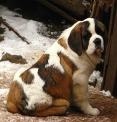 Since I first saw the movie Homeward Bound I've wanted a St Bernard :) Big Dogs, I Love Dogs, Cute Dogs, Dogs And Puppies, Giant Dogs, Doggies, Corgi Puppies, Chien Saint Bernard, St Bernard Puppy