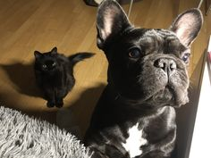 French Bulldog, Dogs, Animals, Animales, Animaux, French Bulldog Shedding, Pet Dogs, Bulldog Frances, Doggies