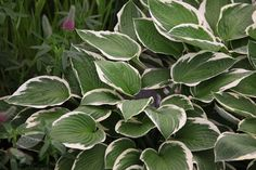 Hosta 'Francee' (fortunei) - A smart hosta, with heart-shaped, olive-green, puckered leaves beautifully offset by neat white margins. Spikes of trumpet-shaped, lavender-blue flowers appear in July and August and, provided they are protected from slug and snail damage, the leaves retain their freshness until the end of September. This pretty plaintain makes a statement on its own in a large container, or try it as a bright full stop in a shady area under deciduous trees.