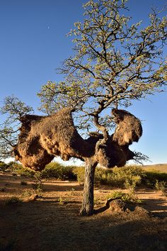 Witsand, Northern Cape, South Africa | by South African Tourism Weird Trees, Unique Trees, Out Of Africa, Tree Trunks, Tree Forest, Belleza Natural, Africa Travel, Natural Wonders, Amazing Nature