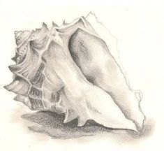 Oh dear. The quality is appauling! Sorry folks xD but hopefully you can tell its a shell? aha Was a observational drawing for my journey to the beach f. Sea shells on the sea shore. Pencil Drawings, Art Drawings, Seashell Art, Seashell Drawings, Seashell Tattoos, Natural Form Art, Gcse Art Sketchbook, Observational Drawing, Sketch Inspiration