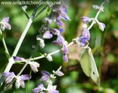 Russian sage and photo bomber