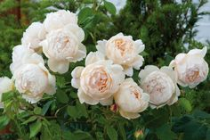 Rosa Wollerton Old Hall