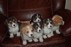 Six little Corgi puppies!