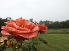 Rose flowers from rose garden chandigarh