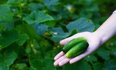 : Урожай огурцов