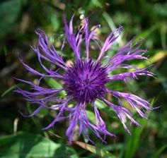 fiore, flower, blue