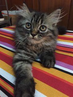 Lurik #persian x ragdoll #kitten #pets # pillow floor
