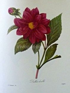 This stunning vintage botanical illustration of a dalhia flower was made by the world renowned painter and botanist, Pierre Redoute.  Redoute is