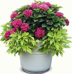 Hydrangea Cityline Paris & lime sweet potato