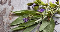 Salvia Divinorum, Salvia Officinalis, Mini Polaroid, Mosquitos, Succulents, Outre, Dengue Zika, Thuja, Questions