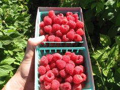 Raspberries are also an excellent source of quercetin, an antioxidant that diminishes the release of histamines, minimizing allergic reactions, as well as vitamin C and manganese which help protect our body from environmental damage.