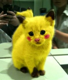 Pikachu Cosplay!! That's so evil!! If I ever get a cat I am so doing this!!