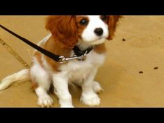 Learn how to understand the dog breed #CavalierKingCharlesSpaniel with this video. Expert: Julia Szabo