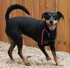 Nella is an adoptable Rottweiler Dog in Philadelphia, PA. Nella is a sweet and playful gal who gets along well with cats and dogs. She can be somewhat nervous at times, but patient and positive traini...