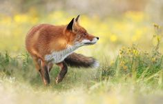 Wildlife Photography: How To Photograph Red Foxes #photography #phototips https://sleeklens.com/wildlife-photography-how-to-photograph-red-foxes/