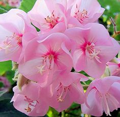Pinks #pink #flowers