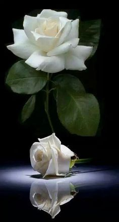 Beautiful white roses reflection of white pureness and clearance of Innocence in the light of a full white rose Beautiful Rose Flowers, All Flowers, Amazing Flowers, White Flowers, Fleur Orange, Rosa Rose, Flower Wallpaper, Flower Photos, Pink Roses