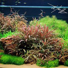 """""""Hygrophila pinnatifida  #oliverknott #ok_aqua #hygrophilapinnatifida"""""""