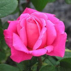 Perfume Delight - Hybrid Tea - Atlantic Avenue Garden