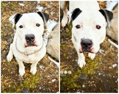 Daisy #21810566-pit bull mix. Female/2 yr.***********************************************************All dogs are spayed or neutered, receive a 24Petwatch microchip, collar, Luzerne County License, and their first (in a series) of shots as part of...