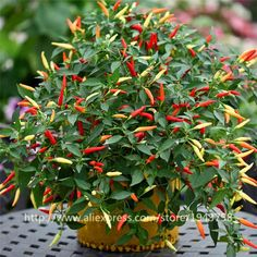 100pcs Chili peppers seeds Multi color Pepper seeds,Edible Ornamental,Mini Garden Home Plant vegetable seeds Free Shipping