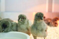 Easter Chicks at Badshot Lea. Come visit!