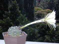 Echinopsis subdenudata della famiglia delle Cactacee