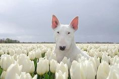 spring tulips with bull terrier (optional)--great shot--white beauties
