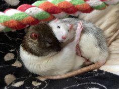 I caught two of my boys sleeping like this :-) #aww #cute #rat #cuterats #ratsofpinterest #cuddle #fluffy #animals #pets #bestfriend #ittssofluffy #boopthesnoot