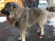 Grom or Thunder in English. Macedonian Shepherd (Sharplaninec)