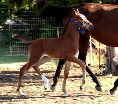 Arab/STB cross filly--- REALLY nice sporthorse cross... can I have some attitude with that!