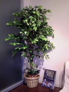 Ficus trees are a common plant in the home and office, mainly due to the fact that they look like a typical tree with a single trunk and a spreading canopy. But for all of their popularity, ficus plants are finicky. However, if you know how to care for a ficus tree,…