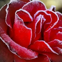 Frost on edges of rose petals