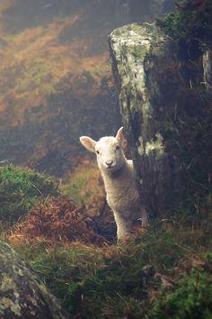Ha ha ha … Well hello little fella! Lord Is My Shepherd, The Good Shepherd, County Cork, Counting Sheep, Farm Animals, Cute Animals, Countryside, Animal Kingdom, Cork Ireland