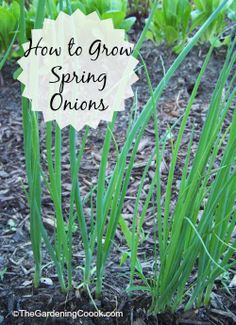Growing Spring Onions - Great Cut and Come Again Veggie - The Gardening Cook Fruit Garden, Edible Garden, Garden Plants, Veg Garden, Garden Art, Growing Spring Onions, Grow Green Onions, Gardening Tips, Vegetable Gardening