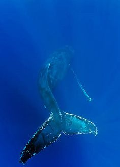 Humpback Whale, Sea of Cortez . Whale is the record keeper & facilitates emotional clarity. Beautiful Creatures, Animals Beautiful, Delphine, Deep Blue Sea, Ocean Creatures, Humpback Whale, Whale Sharks, Whale Tail, Sea World