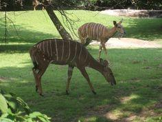 Bronx Zoo: 2 splendidi esemplari di Nyala