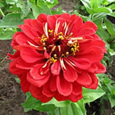Easiest Flowers to Direct Sow: Zinnia