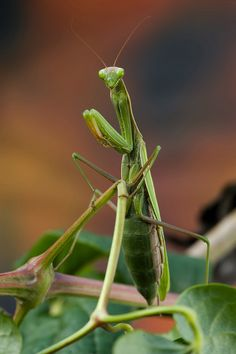 Mantide Religiosa (Mantis religiosa) Praying Mantis...
