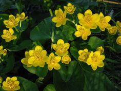 Cowslips - Marsh Marigold - in Evening Sun